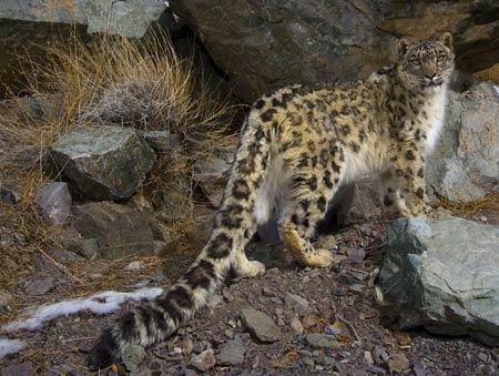 Wintersnowleopard