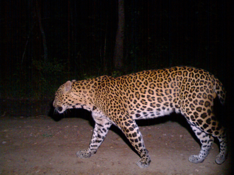 3_leopard